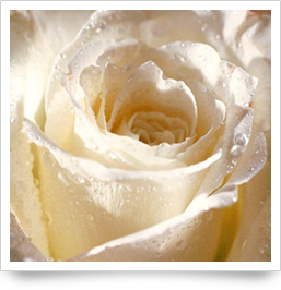 Flower White Rose for You
